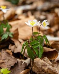 Wiosenny spacer w lesie. Zawilec gajowy.