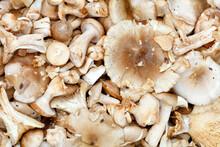 Heap Of Edible Mushroom Russula Heterophylla Close-up.