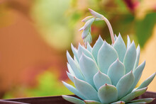 White Succulent. Echeveria White Lotus In Home Succulent Garden.