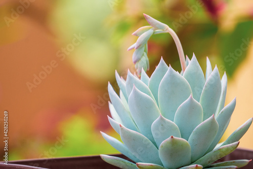 Slika na platnu white succulent. Echeveria White Lotus in home succulent garden.