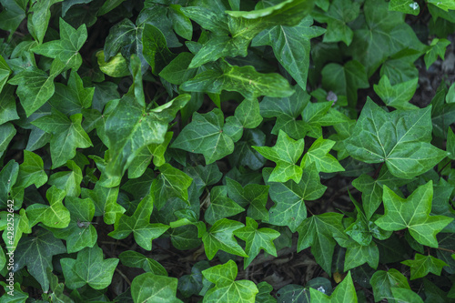 Canvas-taulu Closeup of common ivy leaves in a park during daylight