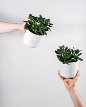 Close Up Of Hands Holding Jade Plant Pots