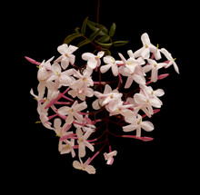 Flowering Jasminum Officinale, The Common Jasmine, Isolated On Black Background