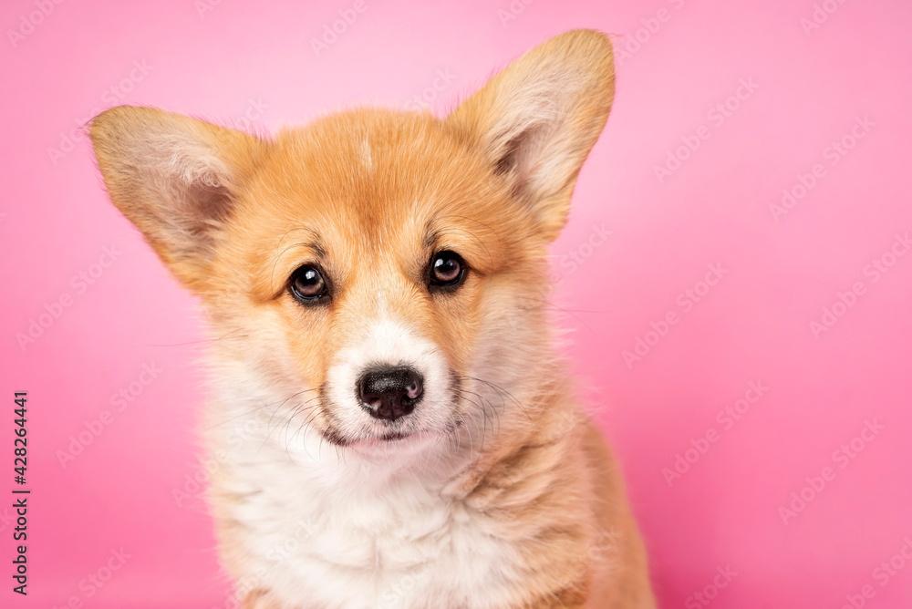 Fototapeta Portret szczeniaka welsh pembroke corgi.