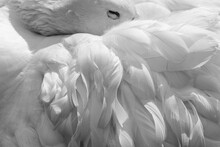 White Feathers Of A Sleeping Goose