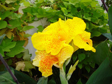 Beautiful Yellow Canna Lily In The Garden