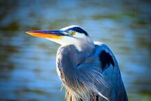 Portrait Of A Great Blue Heron Bird At Magnolia Gardens In Charleston, South Carolina