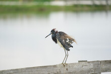 Tricolor Heron Showing Striking Colors