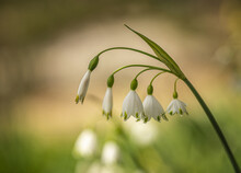 Beautiful Shot Of Loddon Lily Flowers In The Garden
