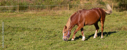 Tablou Canvas Closeup shot of a red-brown horse eating grass on the field