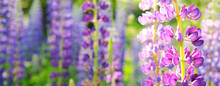 Summer Banner Of Purple Lupins