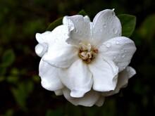 White Flower Gardenia Jasminoides Cape Jasmine With Water Drops In Garden And Macro Image ,white Flower