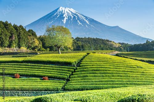 Leinwand Poster 富士市大渕笹場から朝日を浴びて緑色に輝く新茶の目と青空に映える富士山