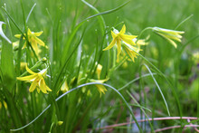 Early Spring Little Flowers Yellow Star Of Bethlehem (Gagea Lutea) With The Leaves Look Like Grass. Natural Floral Background. Yellow Flowers Goose Onion In The Forest