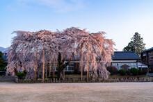 満開の桜 杵原校舎