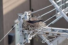 電柱のカラスの巣