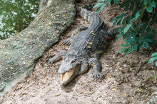 Crocodile Sunbathing On The Ground Beside A Swamp At A Zoo In Thailand.