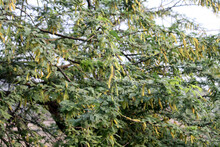 Babul Or Long-thorn Kiawe (Prosopis Juliflora) With Cylindrical Inflorescence