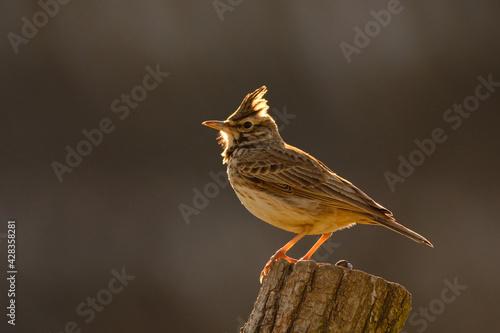Fototapeta Crested lark - Galerida cristata songbird