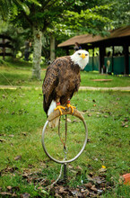 Vertical Shot Of A Bald Eagle On A Ring Perch At Cabarceno Natural Park In  Cantabria, Spain