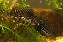 Closeup Shot Of An Aquatic Northern Banded Newt