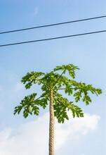 Papaya On Plant The Papaya Tree