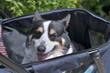 ドッグカートに乗って移動する老犬の黒コーギー