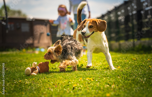 Cute Yorkshire Terrier dog and beagle dog chese each other in backyard. - fototapety na wymiar