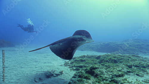 Fotografia Close contact with Giant Stingray in the ocean