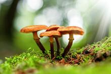 Forest Mushrooms In The Grass. Gathering Mushrooms. Mushroom Photo, Forest Photo, Armillaria Mellea