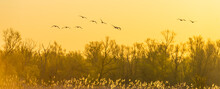 Flock Of Geese Flying In A Bright Blue Yellow Sky Over Nature In  Sunlight At Sunrise In Spring, Almere, Flevoland, The Netherlands, April 17, 2021