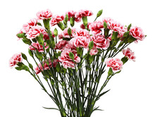 Red And White Carnation Flowers With Green Buds And Leaves Isolated