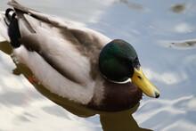 Closeup Of A Male Mallard Wild Duck (Anas Platyrhynchos) On The Lake