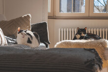 Beautiful Black And White Tired Cats Lying On The Couch Under The Sun Rays
