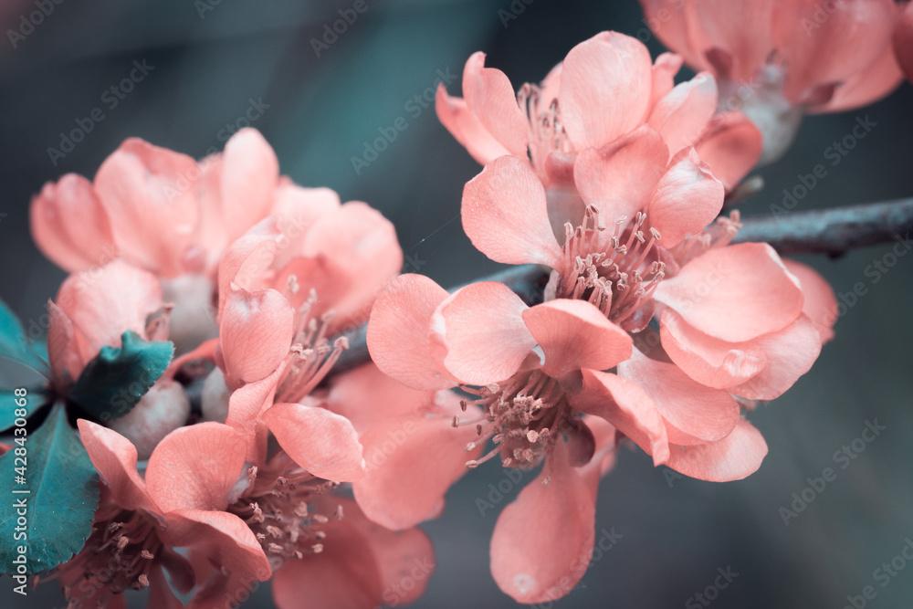 Fototapeta Różowy pigwowiec kwitnący wiosną