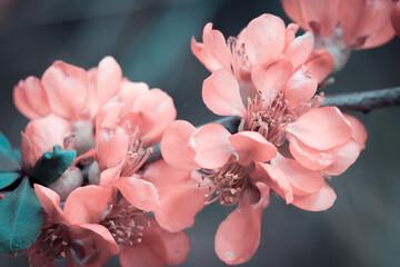 Różowy pigwowiec kwitnący wiosną