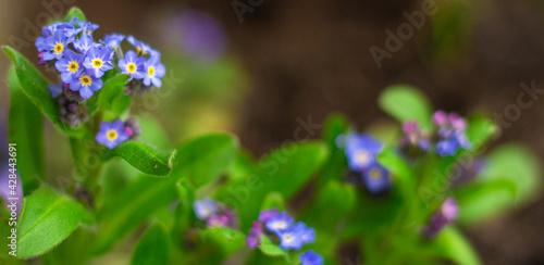 Obraz Fioletowa kwitnąca niezapominajka - fototapety do salonu