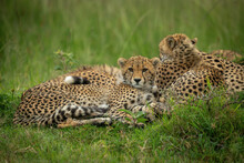 Cheetah Cub Lies Beside Mother Facing Camera