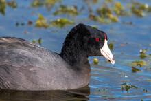 American Coot, Aka Mud Duck, Swimming And Feeding