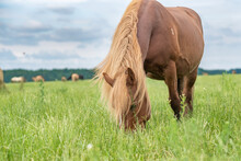 Young Beautiful Horses Graze On The Meadow In Summer.