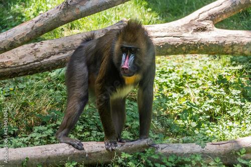 Fotografia Monkey mandrill on a fallen tree trunk