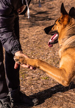 German Shepherd Gives A Paw On Command To Its Owner. Pet Training In The Spring Forest