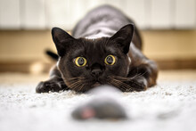 Cat Hunting To Mouse At Home, Burmese Cat Face Before Attack Close-up
