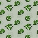 Monstera - egzotyczne liście. Powtarzalny wzór złożony z liści tropikalnej rośliny na jasnym tle.