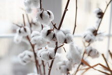 Branches Of Blossoming Cotton. Blur.