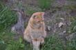 rudy kot siedzi na trawie
