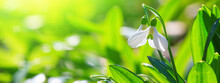 Beautifull Snowdrops, Banner - Blooming White Flowers In Early Spring In The Forest, Closeup With Space For Text