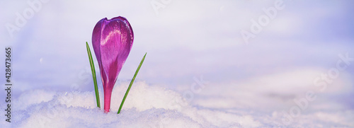 Crocus - blooming purple flower making their way from under the snow in early spring, closeup with space for text, banner