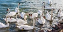 Swans At Lake Balaton, Hungary