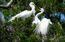 Baby Great White Egret With It's Mouth Wide Open Looking For Food From Mom At The Nest